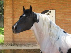 cavalo pampa